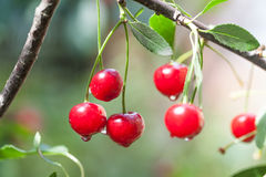 Ripe cherries branch with raindrops. Red berry fruit tree after rain, summer time garden background. Selective focus Royalty Free Stock Image