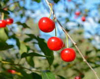Ripe cherries on a branch. Red ripe cherries on a branch. Blurred natural background Royalty Free Stock Image