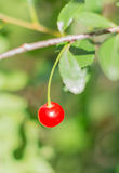 Ripe cherries on a branch. Red ripe cherries on a branch. Blurred natural background stock photo