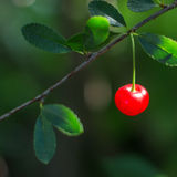 Ripe cherries on a branch. Red ripe cherries on a branch. Blurred natural background Stock Images