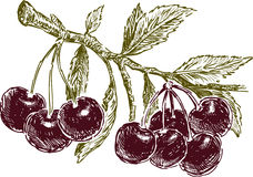 Ripe cherries on a branch. Vector drawing of the cherries bunches on a tree twig Royalty Free Stock Images