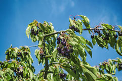 Ripe cherries on a cherry branches Stock Image