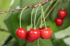 Ripe cherries on a cherry tree in summer Royalty Free Stock Photo