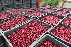 Ripe cherries in crates stock image
