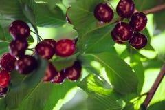 Ripe Cherries. Ripe Delicious Cherries On Tree Royalty Free Stock Image