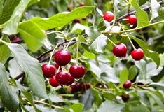 Ripe cherries with drops of rain Royalty Free Stock Photography