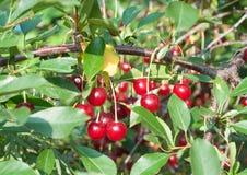 Ripe cherries. Fresh Cherries on branch Stock Photo