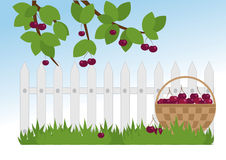 Ripe cherries in the garden. Basket of cherries and cherry branch in the garden Royalty Free Stock Photography