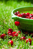 Ripe cherries in green basket on the grass Royalty Free Stock Photos