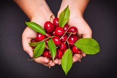 Ripe cherries in hands Stock Images