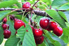 Ripe cherries hanging from a branch Royalty Free Stock Photography