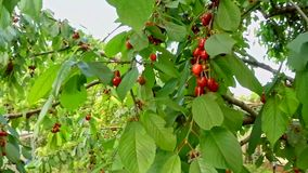 Ripe Cherries Hanging On Tree Branches stock footage