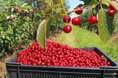 Picking cherries in the orchard Royalty Free Stock Photos