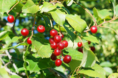 Ripe cherries in tree Stock Photos