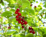 Ripe cherries on tree branch Stock Images
