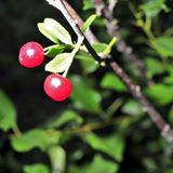 Ripe cherries on a tree branch Royalty Free Stock Image