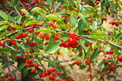 Ripe cherries on a tree. Ripe cherries on a branch in orchard Royalty Free Stock Photos