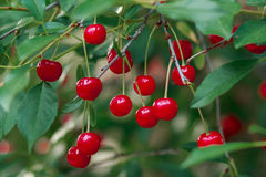 Ripe cherries on a tree branch Royalty Free Stock Photography
