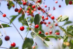 Ripe cherries on a tree. Fresh red cherry fruits in summer garden in the countryside. Ripe cherries on tree branches. Fresh red cherry fruits in summer garden in royalty free stock image