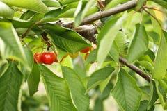 Ripe cherries on a tree Royalty Free Stock Photos