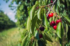 Ripe cherries under the leaves on the background of a row of trees in the garden stock photos