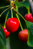 Ripe cherry. Cherries Parts of a branch of a cherry tree with red cherries Stock Photography