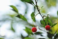 Ripe cherry Stock Images