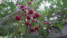 Ripe cherry. Beautiful ripe cherries are ready for picking stock footage