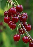 Ripe Cherry Branch Stock Image
