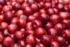 Ripe cherry closeup. Fresh red cherry closeup . Healthy food background Stock Photos