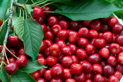 Ripe cherry closeup. Fresh red cherry closeup . Healthy food background Stock Images