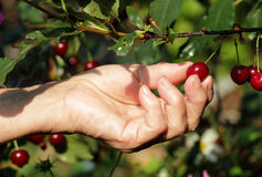 Ripe cherry in a female hand. Female hand harvested ripe cherries from the tree Royalty Free Stock Image