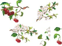 Ripe cherry and flowers royalty free illustration