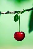Ripe cherry fruit Stock Images