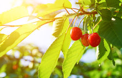 Ripe cherry on a green branch in sunlight Stock Photos