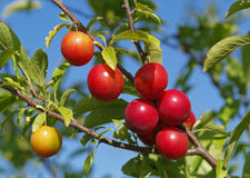 Ripe cherry-plum Royalty Free Stock Photo