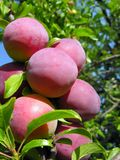 Ripe cherry-plums on a tree branch Royalty Free Stock Photo