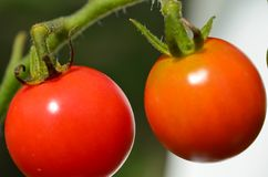 Ripe Cherry Tomatoes. On the vine Stock Image