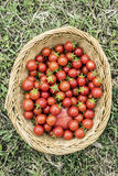 Ripe cherry tomatoes in a basket Stock Images
