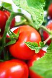 Ripe cherry tomatoes on branch Royalty Free Stock Image