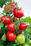 Ripe cherry tomatoes on branch Stock Image