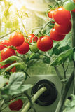 Ripe cherry tomatoes bush. With artificial grow light Royalty Free Stock Images