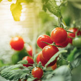Ripe cherry tomatoes bush Royalty Free Stock Image