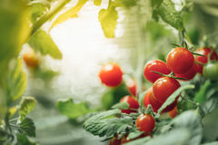 Ripe cherry tomatoes bush Royalty Free Stock Photography