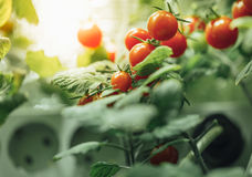 Ripe cherry tomatoes bush. With artificial grow light Stock Photography