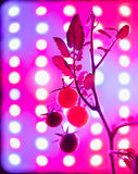 ripe cherry tomatoes silhouette against led grow lamp Stock Photography