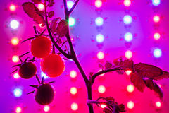 ripe cherry tomatoes silhouette against led grow lamp Royalty Free Stock Photos