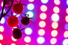 Ripe cherry tomatoes silhouette against led grow lamp Stock Image