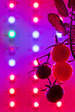 Ripe cherry tomatoes silhouette against led grow lamp Stock Images
