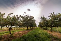 Ripe cherry orchard field Royalty Free Stock Images